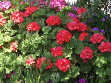 Villa Molova, our Geranium, keep us company throughout the summer.