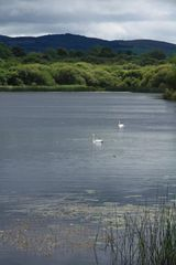 County Clare cottage photo - Swans on Lough Bridget
