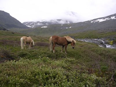 The famous Icelandic Ponys