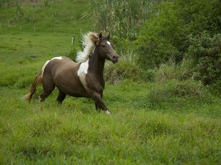 Wood Valley Pahala cottage photo - One of the valley residents...horse heaven!