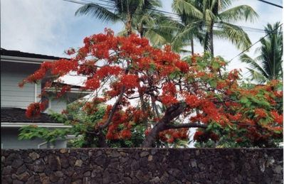 Royal Poinciana Tree on Alii Dr