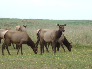 Astoria house photo - Elk, deer, hawks and pheasant are often present in the yard or over the dunes.