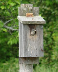 Baby blue bird's first view from nesting box