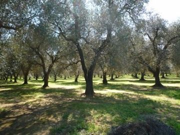 Olive groves close by
