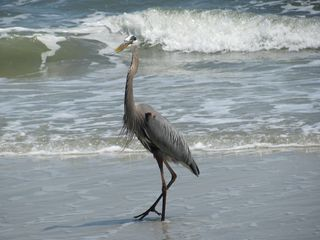 Palmetto Dunes villa photo - Our local wildlife likes the beach as much as we do.
