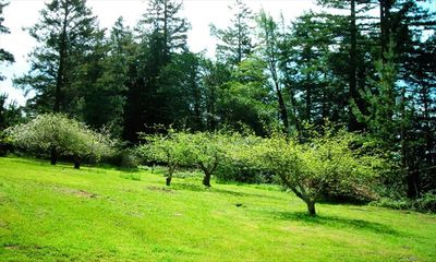 Heirloom Gravenstein apple trees bloom beautifully; fall harvest is abundant!