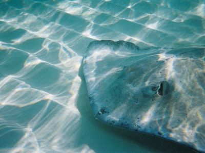 Sting Ray in the shallows