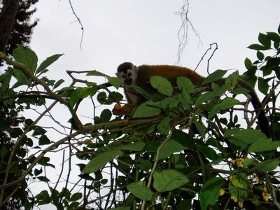 One of the monkeys that comes by the Chalet
