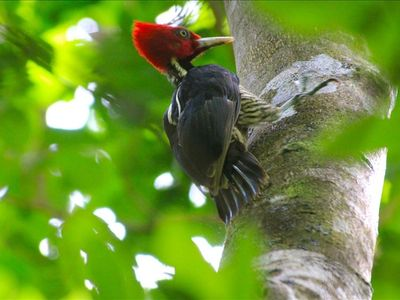 Playa Junquillal house rental - Pale Billed Woodpecker