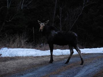 Moose we saw on Route 3 just down the road from the cabin. Spring 2013.
