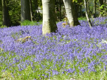 Bluebells in the woods at Corsewall on one of the pretty walks guests can enjoy