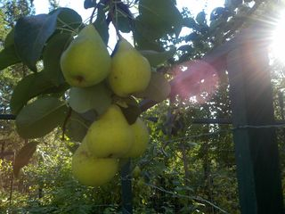 Rexford house photo - Pick fresh fruit....pears, apples, cherries, when in season......