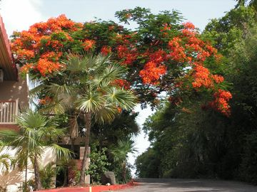 FLAMBOYANT TREE IN RESORT