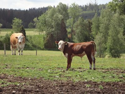 Our own ecological beef cows