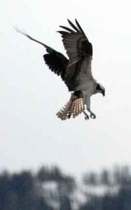 Osprey fishing in the river below - I took the photo right out our window!