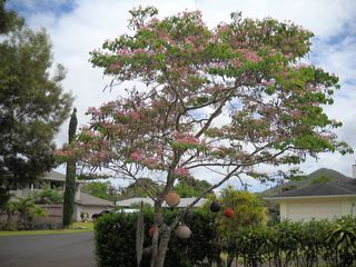 Wailua house photo - Orchid Tree Graces Entrance
