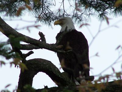 """Our"" Bald Eagle - a frequent visitor"