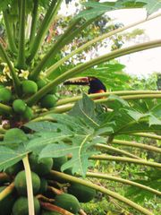 Montezuma house photo - Toucan in our Papaya tree just off the living room (true to life photo)