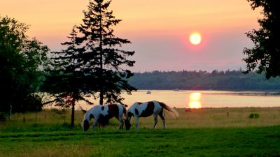 Haflinger Paints and the western sunsets