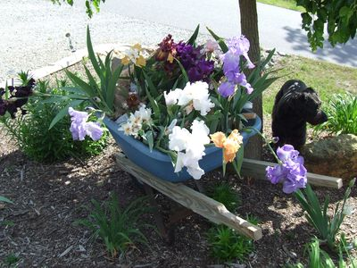 Flatlanders Peaks flower farm - iris' in full bloom and ready to go to market.