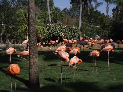 Flamingoes at Busch Gardens