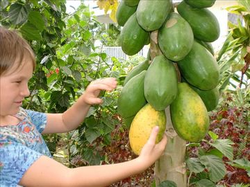 Pick Papayas in our Beautiful Tropical Garden