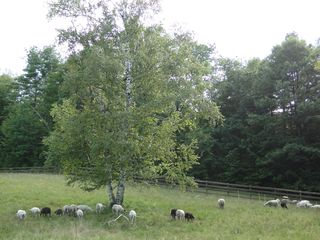 Ascutney farmhouse photo - Sheep on pasture