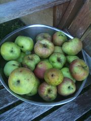 Kennebunkport farmhouse photo - Organic apples from our oldest tree- 80 years +