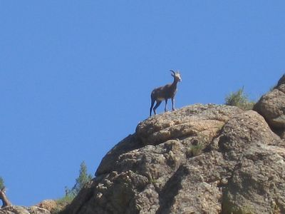 Rocky Mountain Goat perched on the mountain top!