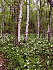 Trillium blanketing forest floor in springtime