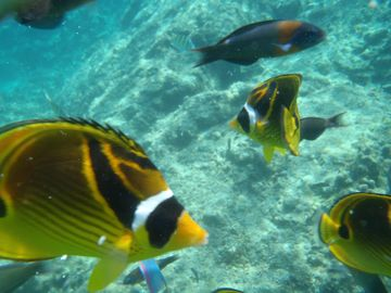 Get up close and personal with a butterflyfish.