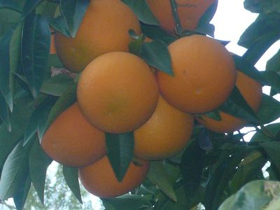 Three Rivers farmhouse rental - Winter's bounty Ruby Red Oranges