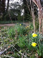 Gloucester estate photo - Daffodils dot the grounds of Mill Hill.
