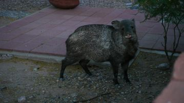 you may get some visitors on other side of the wall! - Javelina - not to be fed!