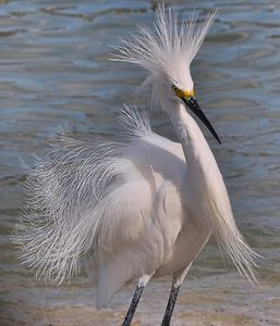 Snowy Egret on Sanibel Island