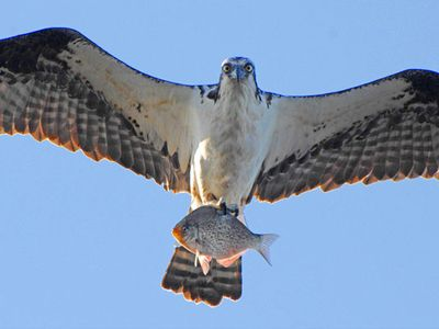 Incredible bird watching from our home, watch osprey catch fish.