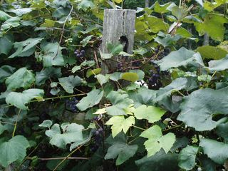 Boone cabin photo - Past Grape Vines That are Ripe in September