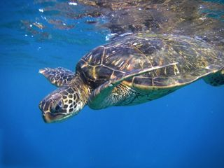Poipu condo photo - GUEST SAYS 'I SWAM WITH TURTLES! ABUNDANT IN FRONT OF 219! I CAN DIE NOW'