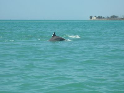 Dolphin Breaching in front of Castaways Beach.