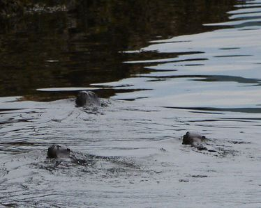 Otters at the end of Allbay Rd just past our place