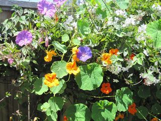 Pacific Grove cottage photo - Morning Glories and Nasturtium rioting on rear fence