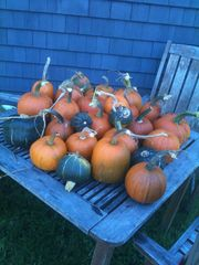 Kennebunkport farmhouse photo - Heirloom pumpkins and squash from the 60'x90' garden.