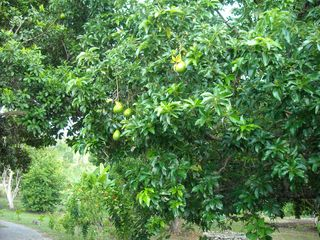 Ocho Rios house photo - Avocado tree