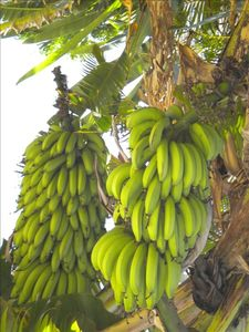 Pick a fresh banana for breakfast from our property (seasonal)