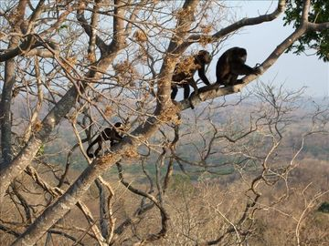Howlers Monkeys by the Tree House.