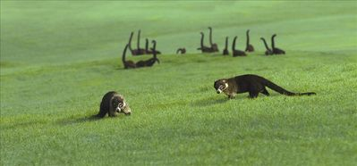 Some coatis in our Robert Trent Jones II Golf Course