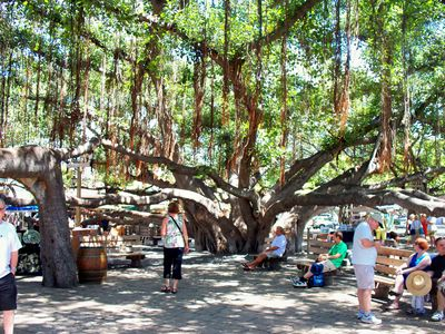 The largest banyan-tree in North America, 20 minutes by foot from the condo.