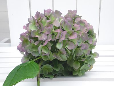 flourishing hydrangea in landscaped gardens