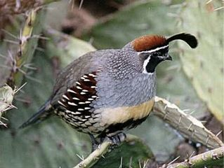 Sedona house photo - Frequent Gamble Quail