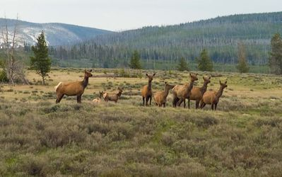 Elk Herd in Yellowstone.
